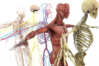 Anatomically correct depiction of the human skeletal, muscular, and nerve system.